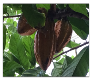 cocoa pods growing at the New York Botanical Gardens
